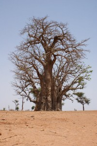 Magnifique baobab de la région de Thiés au Sénégal