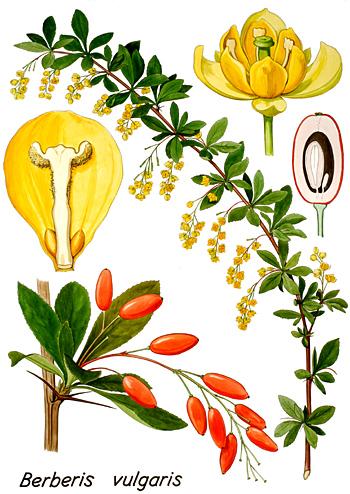 La berbérine bio un principe actif extrait du Berberis vulgaris épine-vinette, contre le diabète de type 2 et anti cancer naturel puissant